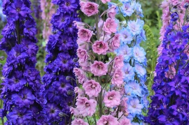 Začala sa výstava flóra - jej symbolom sa tento rok stal kvet delfinium -  Delfinium ed1ad323030