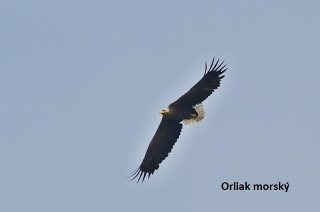 Tip na výlet  pozorujte najväčšieho okrídleného dravca na slovensku -  orliak morsky JChavko 1b26b104e35